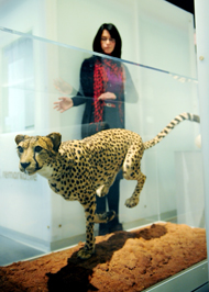 The cheetah in the Treasured exhibition