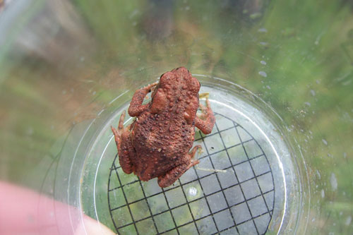 A toad found on a bug hunting expedition. Photo by Elspeth Durkin.