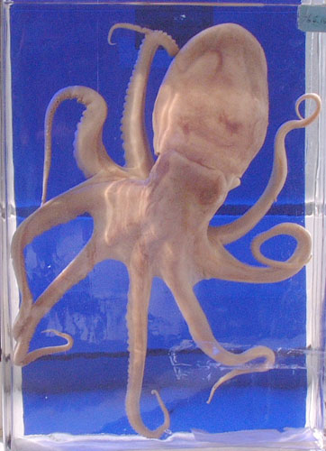 An octopus preserved in fluid