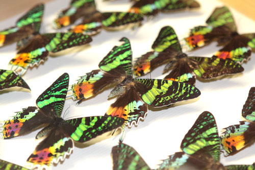 Butterflies in the National Museums Collection Centre
