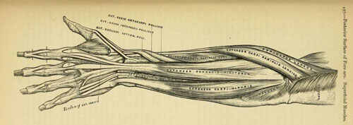 The back of a hand and arm showing the muscles and tendons which open the fingers. Gray's Anatomy, 1858.