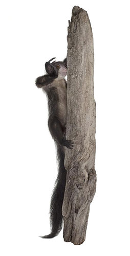 This Aye-aye is one of Andrew's favourite objects, but also the one that gave him the biggest headache when creating the new Natural World galleries