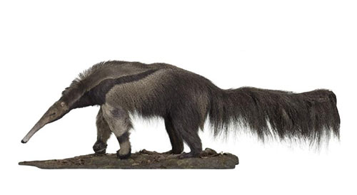 The Giant Anteater in the Animal World gallery at National Museum of Scotland