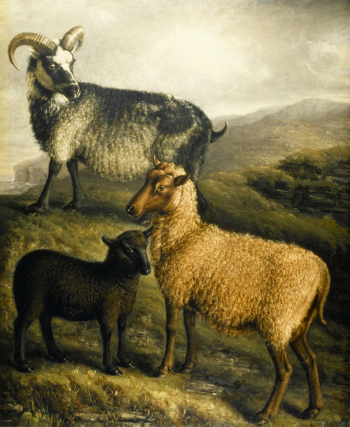 Orkney Ram, Ewe, Cheviot-cross lamb, 1837.  Ram from the Isle of Enhallow, Ewe from the Isle of Roussay, bred by Mr Traill of Woodwick; lamb is a cross with the pure Cheviot.  On display at National Museum of Rural Life, East Kilbride.