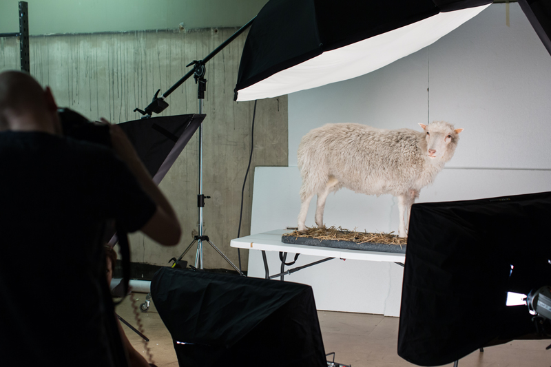 Dolly the sheep being photographed
