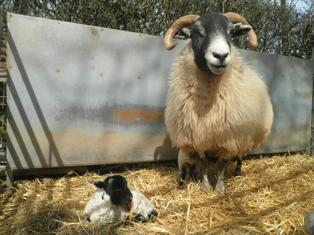 a new lamb at the National Museum of Rural Life