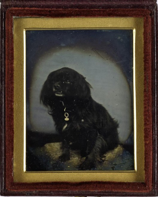 Daguerreotype of a spaniel, taken by an unknown photographer during the 1840s-1850s. From the Howarth-Loomes collection at National Museums Scotland.