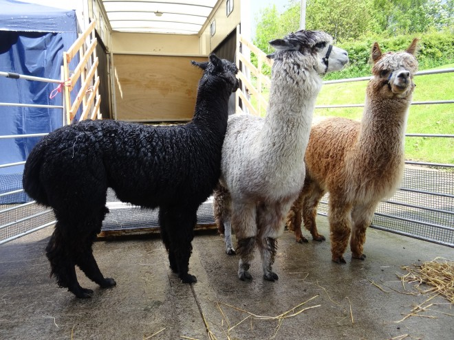Alpacas at the Woolly Weekend 2015