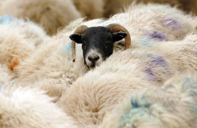 Sheep at the Woolly Weekend