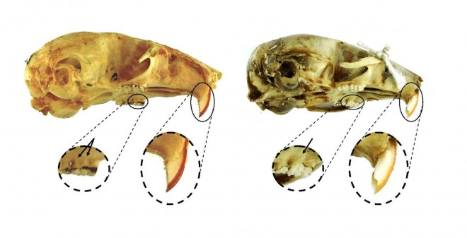 Skull of a wood mouse (left) and house mouse (right).