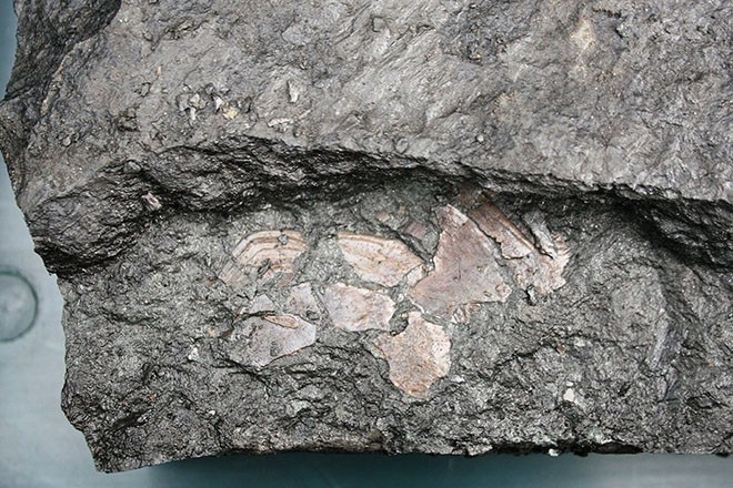 Fossil fish scales