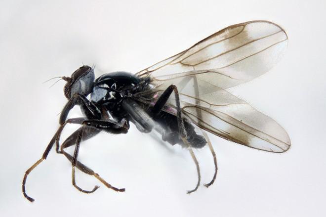 Tachydromia halidayi