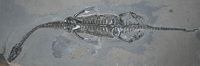 Fossil of a pachypleurosaur (nothosauroid) from the Middle Triassic of Guizhou Province, China