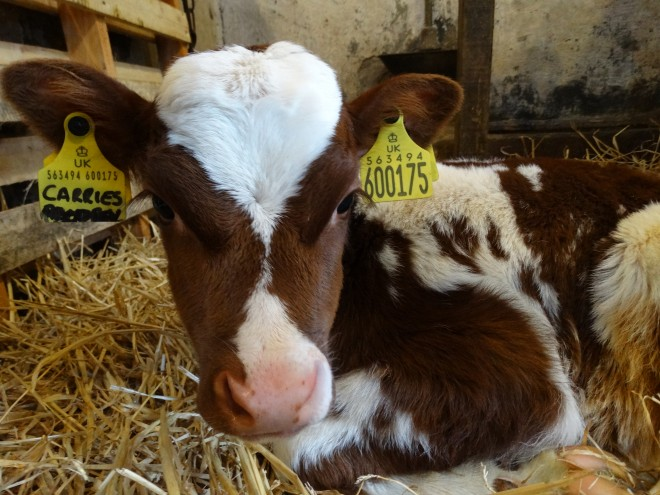 Springtime Ayrshire calf at the National Museum of Rural Life, East Kilbride.