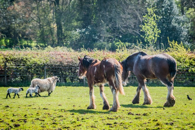 Clydesdales and sheep in the fields at National Museum of Rural Life, East Kilbride.