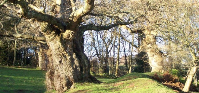 Ancient oak woodland at Cadzow Forest today