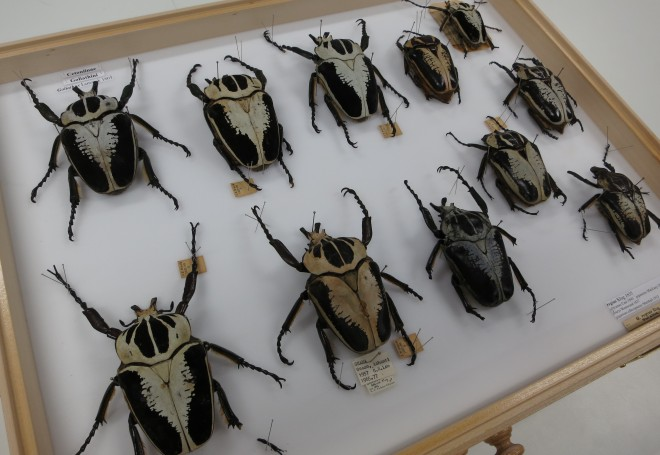 A drawer of beetles (Goliathus regius)