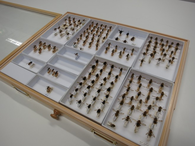 A drawer of Hoverflies (Syrphidae) arranged in unit trays.