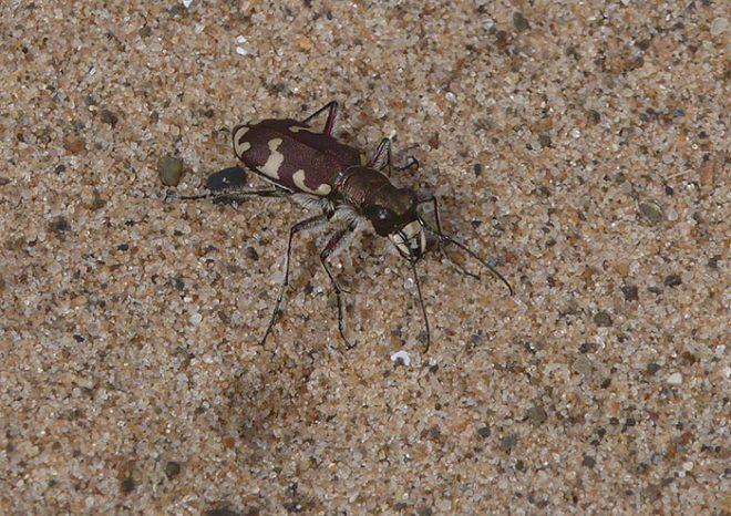 Northern Dune Tiger Beetle