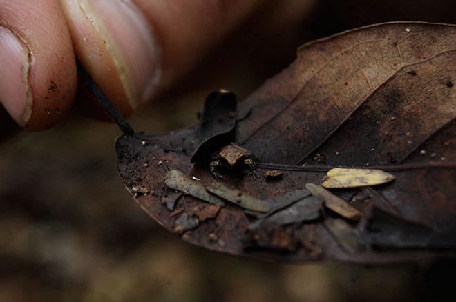 Leaf-litter frog
