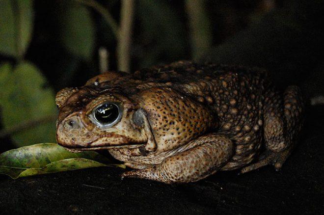 Marine toad