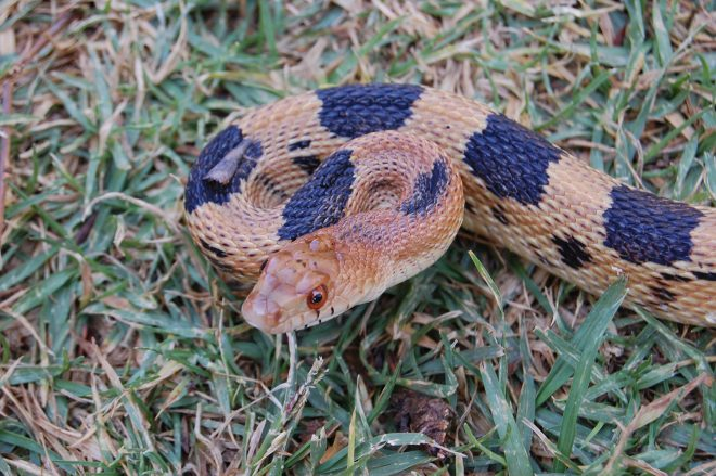 Mexican pine snake, Pituophis deppei deppei
