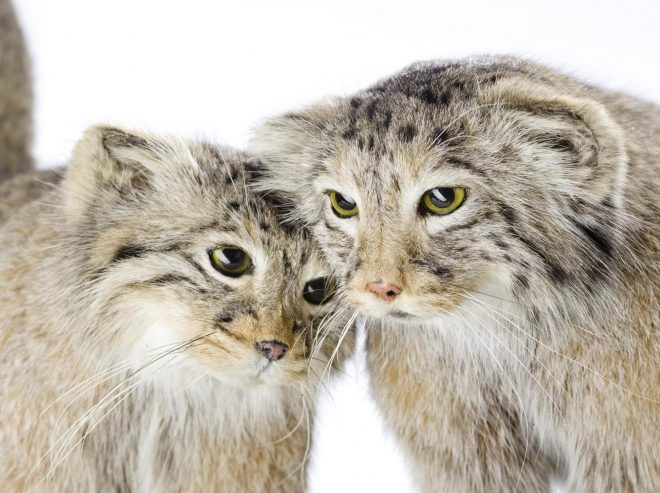 Pallas' cat pair in Animal World at National Museum of Scotland.