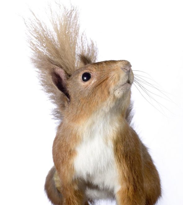 Red squirrel can on display in Adventure Planet, Level 5 at National Museum of Scotland.