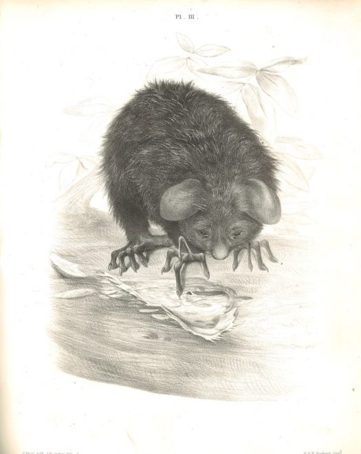 Aye-aye tapping its long middle finger to locate wood-boring insects inside the tree.