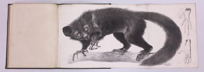 Richard Owen. Monograph on the aye-aye (Chiromys madagascarieusio, Cuvier),1863