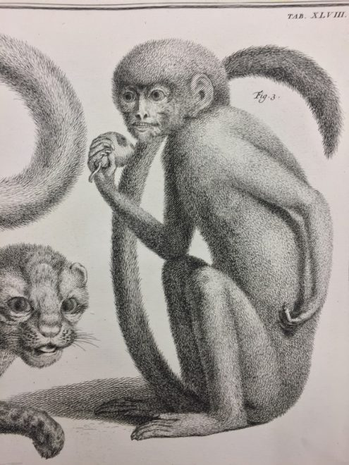 Plate XLVIII: Fig. 3 Simiolus Ceilonicus: Medium Black Monkey