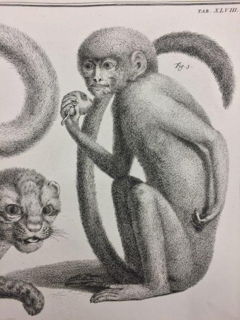 Plate XLVIII: Fig. 3 Simiolus Ceilonicus: Medium Black Monkey