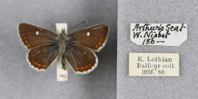 A specimen of Aricia artaxerxes from our collection
