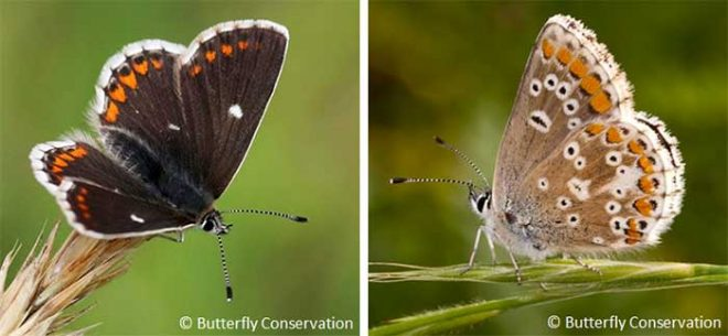 Edinburgh's Butterfly - the Northern Brown Argus