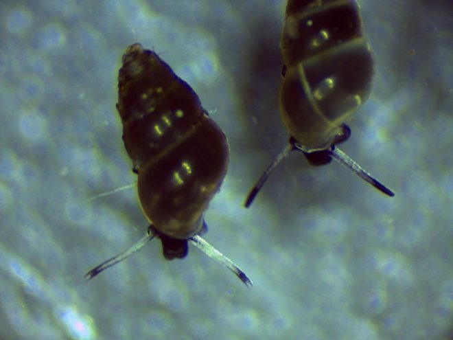 Lagoon mudsnails (Hydrobiidae)