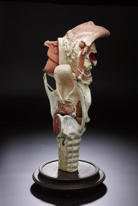 Teaching model of human tongue, larynx and vocal chords, made of papier mâché. This type of dismantleable model was used to teach anatomy students the complexities of human vocal physiognomy. By Dr Louis Thomas Jerome Auzoux, France, c.1860