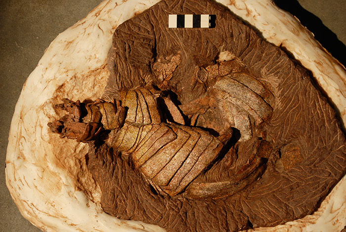 The new aetosaur fossil from North Carolina called Coahomasuchus chathamensis.