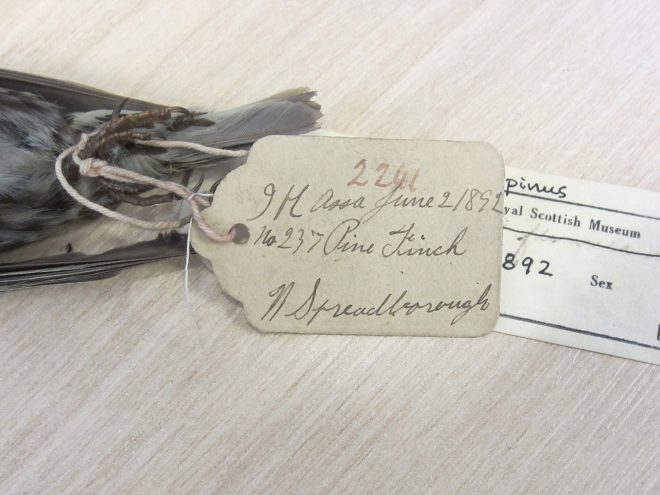 Collector's label on the pine finch.