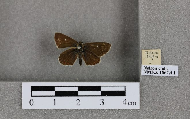 Butterfly species fro 1867