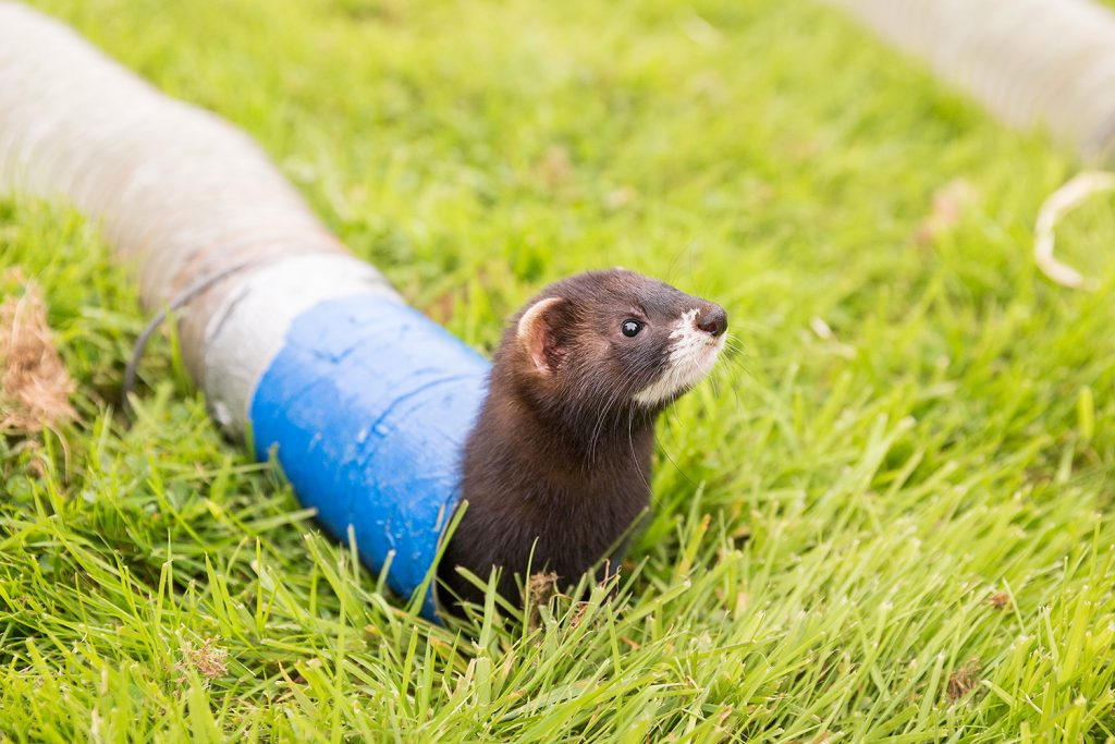 Ferret racing. © Ruth Armstrong Photography.
