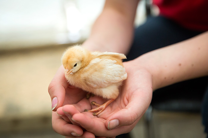 Holding a duckling. © Ruth Armstrong Photography.