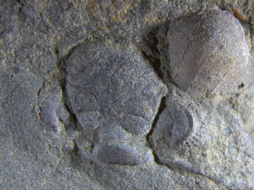 Trilobite monkey