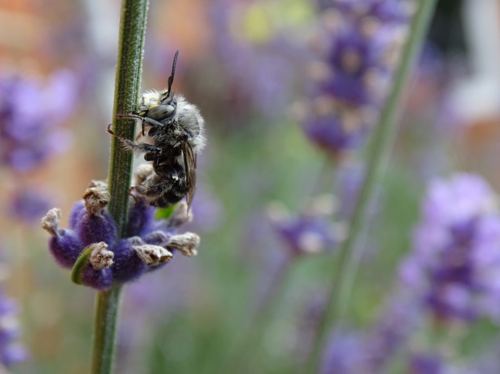 A Four Banded Flower Bee (Anthophora quadrimaculata) roosting on lavender