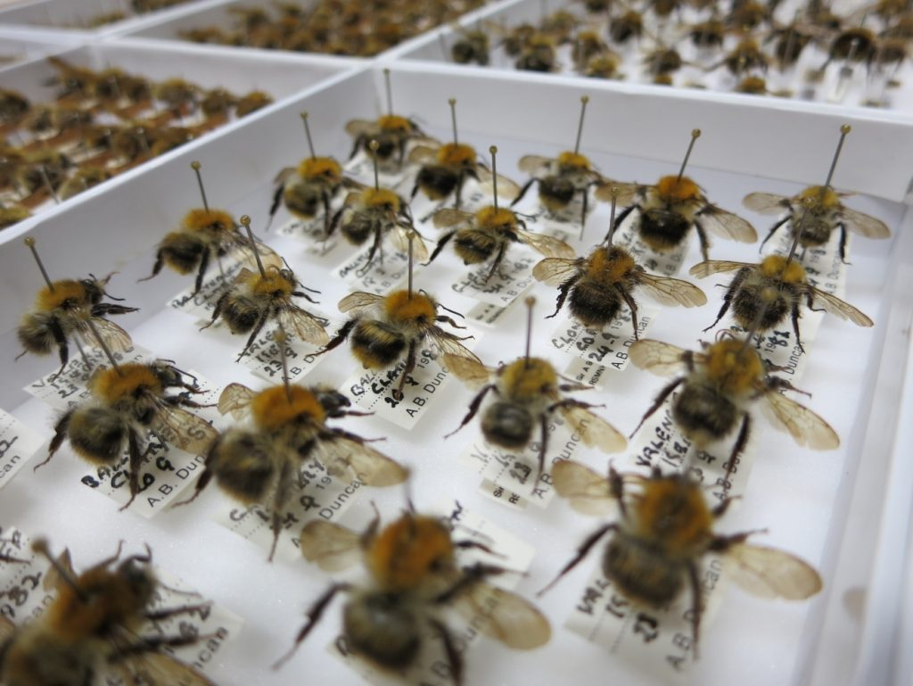 A drawer of Bombus pascourum specimens