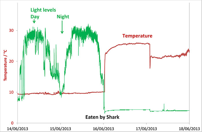 Inside a shark is warmer than the surrounding water, but not as warm as inside a mammal would be. It is also, unsurprisingly, dark.