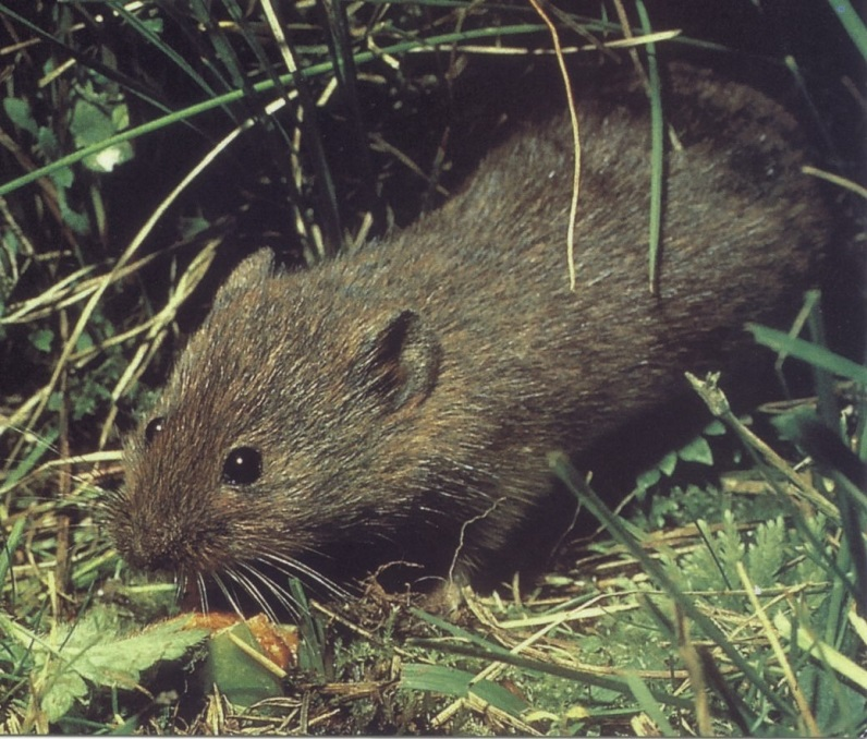 Orkney vole. Photo © Peter Reynolds.