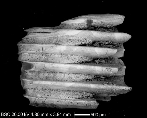 Micrograph of Orkney vole first molar tooth, retrieved from the archaeological site at Tuquoy, Orkney. On the right you can see a partially digested part of the tooth, with its edges and enamel eroded and cracked dentine exposed. On the left you can see shattered roots of this tooth, with rough edges where parts of the tooth were broken off. Considering the state of this specimen, it might have gone through a bird of prey of some kind.