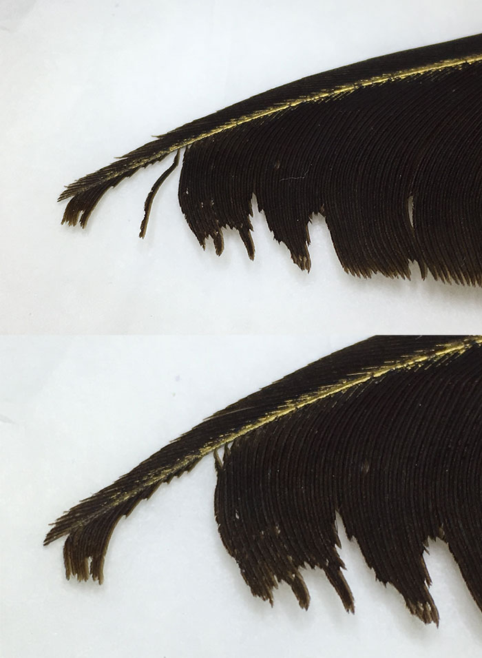 Fragile feather barb at the tip before (above) and after (below) strengthening.