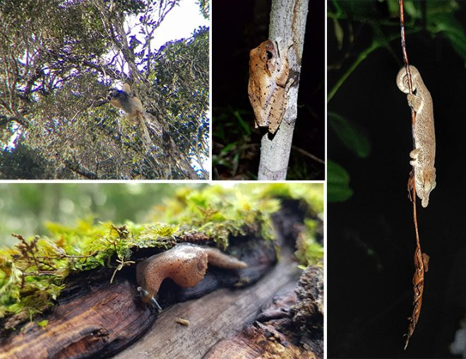 Clockwise from top left: Diademed Sifaka lemur, mantellid frog (Boophis), big-nose gecko, and a semi-slug that has warty lobes that cover its thin shell (probably Malagrion, Ben Rowson pers. comm.).