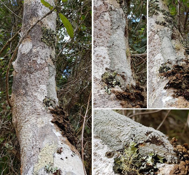 Spot the leaf-tailed gecko!
